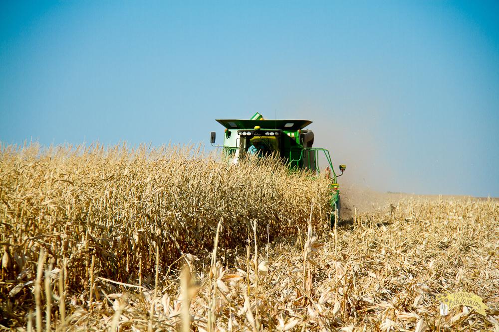 Corn Harvest-6