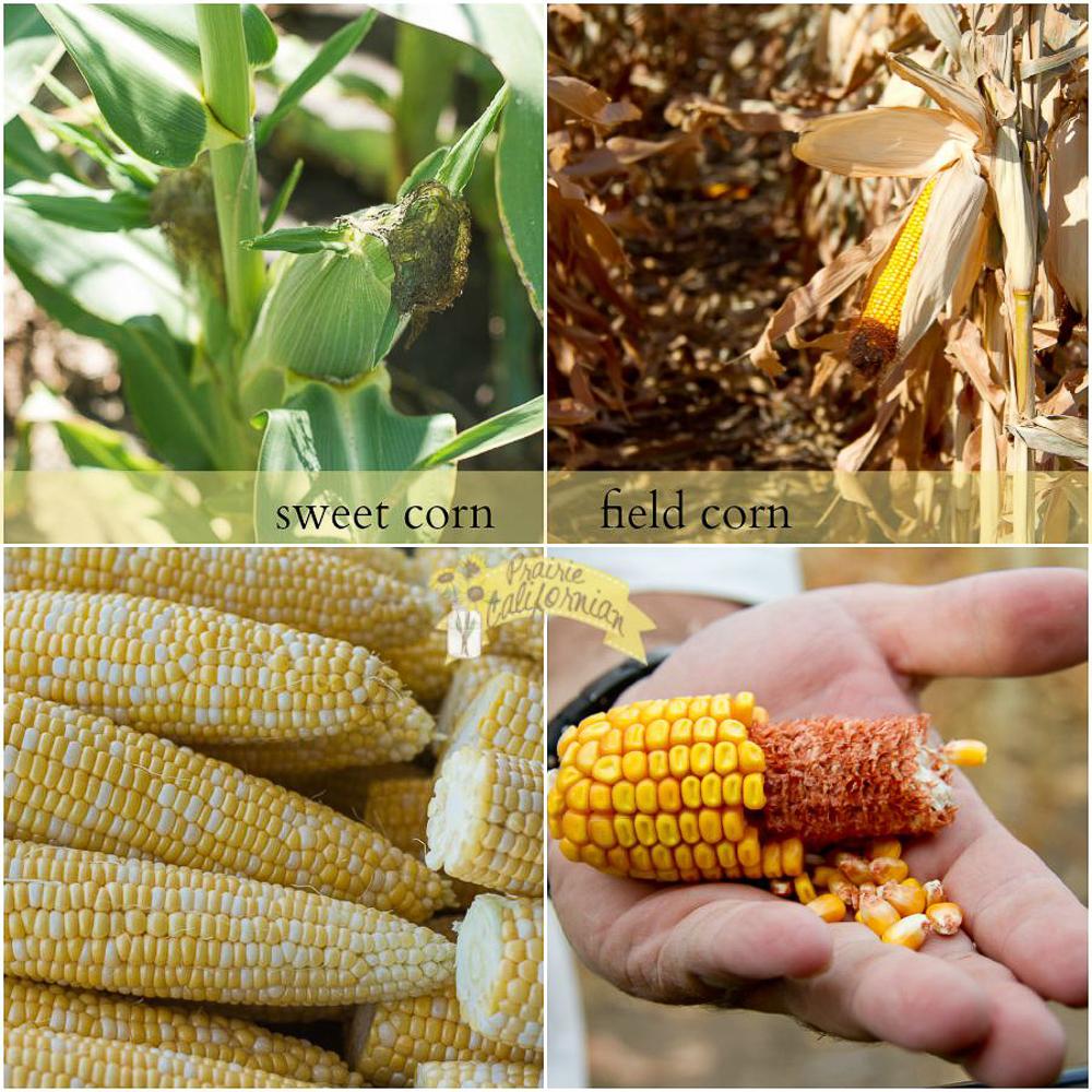 Sweet Corn vs Field Corn